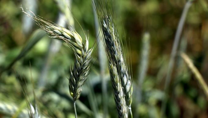 Türk tohumları 80 farklı ülkenin tarım arazilerinde filizleniyor!