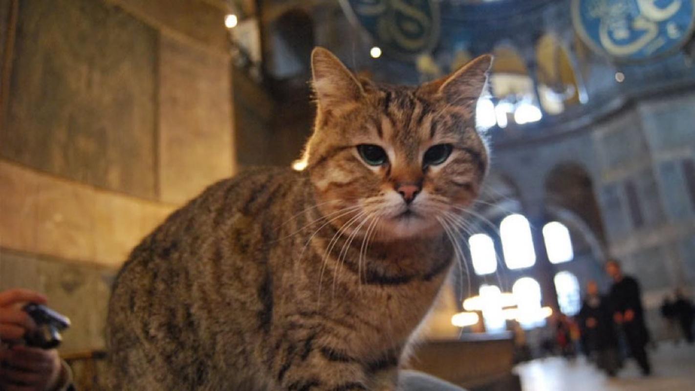 Ayasaofya'nın kedisi Gli'nin durumu kötüleşti