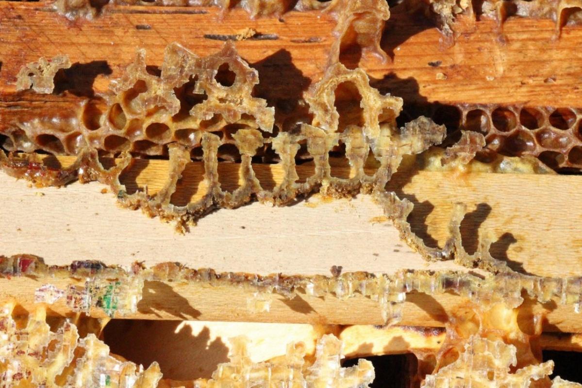 Aydın'da arıcılar şaşkın! Arılar Allah yazıp kovanı terk ediyorlar